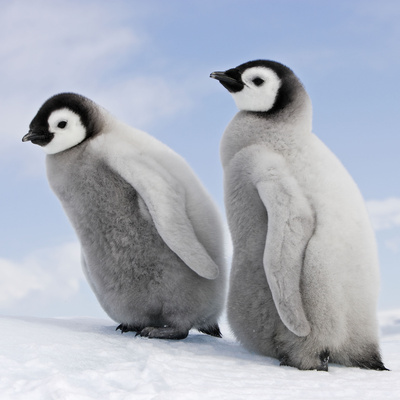 Emperor Penguin, Two Chicks Photographic Print