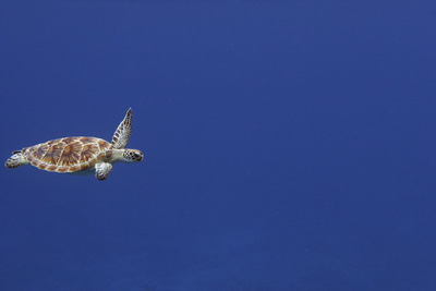 Green Sea Turtle Swimming Photographic Print