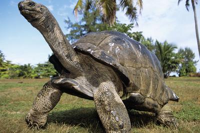 Aldabra Giant Tortoise Photographic Print