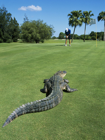 American Alligator on Golf Course Fotografisk tryk