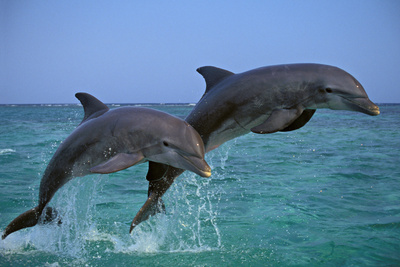 Two Bottlenosed Dolphins Jumping Photographic Print