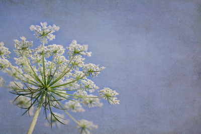 One Queen Anne's Lace Blossom Photographic Print by Elizabeth Urqhurt