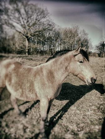 Suffolk Pony Photographic Print by Tim Kahane