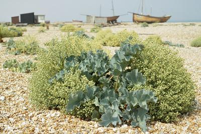 Sea Kale Photographic Print