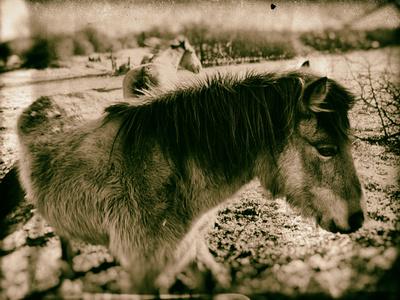 Suffolk Ponies Photographic Print by Tim Kahane