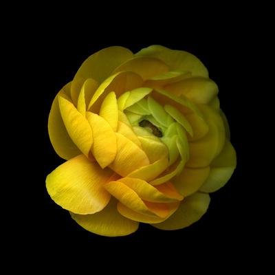 Ranunculus Close-Up Photographic Print by Magda Indigo