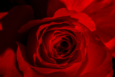 Red Rose Photographic Print by Marco Carmassi