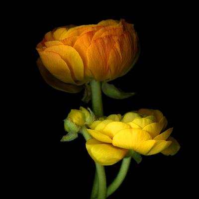 Ranunculus Yellow and Orange Photographic Print by Magda Indigo