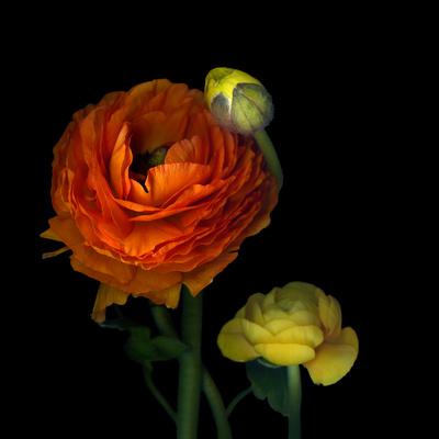 Ranunculus Orange Photographic Print by Magda Indigo