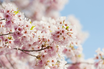Usa, Washington Dc, Cherry Tree in Blossom Photographic Print by Tetra Images