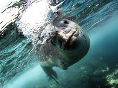 Facial View of a Leopard Seal, Astrolabe Island, Antarctica Photographic Print