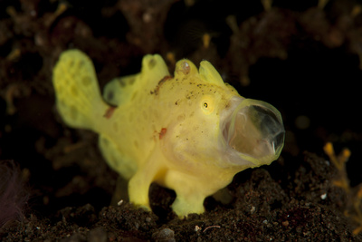 Yellow Painted Frogfish, Side Profile on Volcanic Sand, Bali Photographic Print
