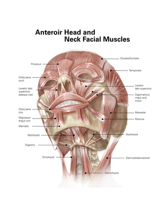 Anterior Neck and Facial Muscles of the Human Head (With Labels) Print