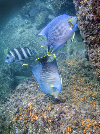 Blue Angelfish Feeding on Coral and Algae with Sheepshead in Background Photographic Print