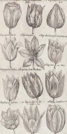 Tulip Cultivars Prints by  The Vintage Collection