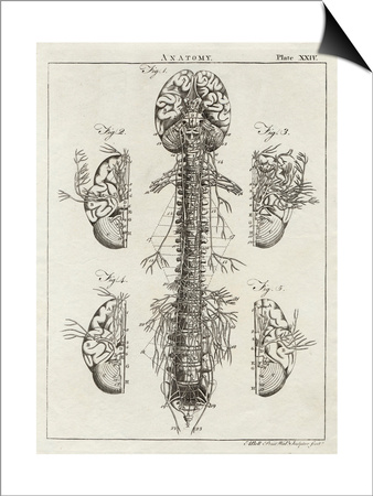 Brain and Spinal Column Prints by A. Bell