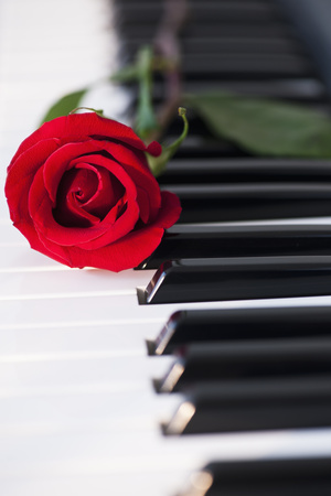 Close up of Red Rose Lying on Piano Keys Photographic Print by Daniel Grill