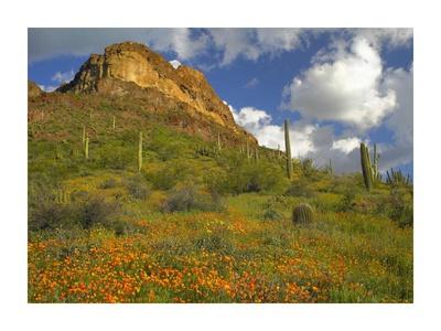 California Poppy and Saguaro cacti, Organ Pipe Cactus National Monument, Arizona Poster by Tim Fitzharris