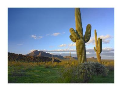 Saguaro and Teddybear Cholla, Picacho Peak State Park, Arizona Posters by Tim Fitzharris