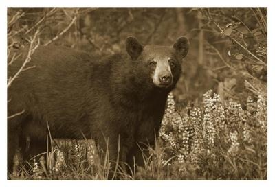 Black Bear portrait, North America Prints by Tim Fitzharris