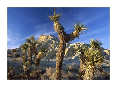 Joshua Trees in Red Rock Canyon State Park, California Poster by Tim Fitzharris
