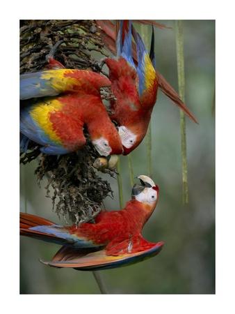 Scarlet Macaw trio feeding on palm fruits, Costa Rica Prints by Tim Fitzharris