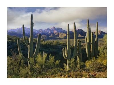 Saguaro cacti and Santa Catalina Mountains, Arizona Posters by Tim Fitzharris