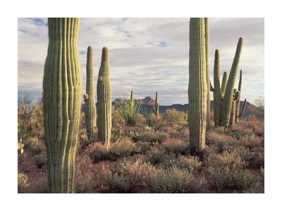 Safford Peak and Saguaro Saguaro National Park, Arizona Prints by Tim Fitzharris