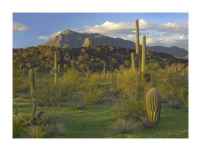 Saguaro Picacho Mountains, Picacho Peak State Park, Arizona Posters by Tim Fitzharris