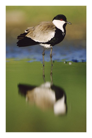 Spur-winged Plover with its reflection at waterhole, Kenya Prints by Tim Fitzharris