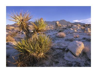 Mojave Yucca in rocky landscape, Mojave National Preserve, California Print by Tim Fitzharris
