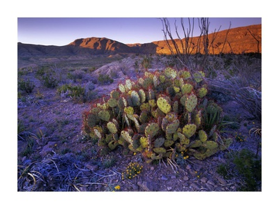 Opuntia in Chihuahuan Desert landscape, Big Bend National Park, Texas Prints by Tim Fitzharris