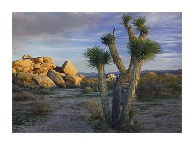 Joshua Tree and boulders, Joshua Tree National Park, California Prints by Tim Fitzharris