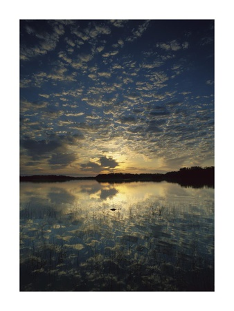 American Alligator in Nine-mile Pond, Everglades National Park, Florida Prints by Tim Fitzharris