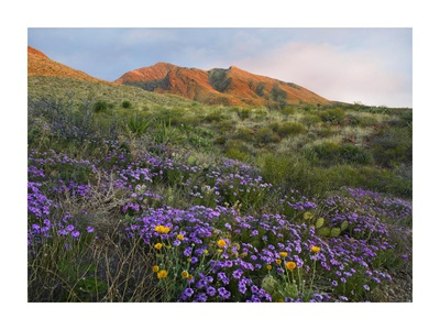 Herb of the Cross at Franklin Mountains State Park, Chihuahuan Desert, Texas Prints by Tim Fitzharris