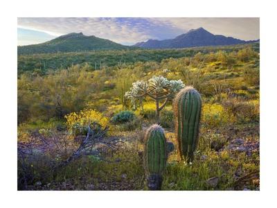 Ajo Mountains, Organ Pipe Cactus National Monument, Sonoran Desert, Arizona Prints by Tim Fitzharris