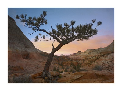 Lone pine tree with East and West Temples in the background, Zion National Park, Utah Art by Tim Fitzharris