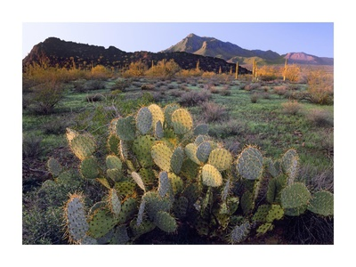 Beavertail Cactus with Picacho Mountain in the background, Pichaco Peak State Park, Arizona Print by Tim Fitzharris