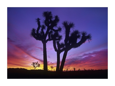 Joshua Trees at sunrise near Quail Springs, Joshua Tree National Park, California Print by Tim Fitzharris