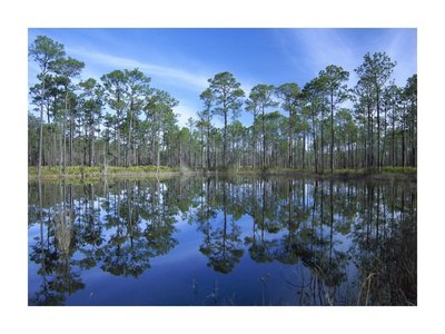 Pine forest mirrored in reflection pond, Ochlocknee River State Park, Florida Posters by Tim Fitzharris