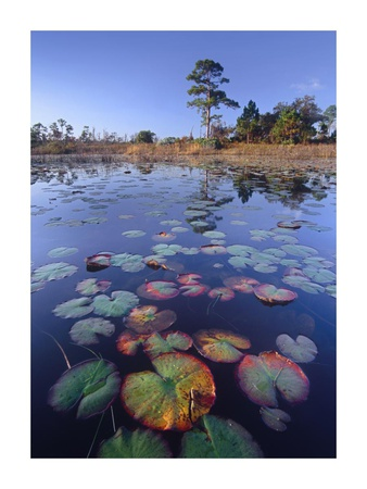 Waterlilies in pond, Jonathan Dickinson State Park near Hobe Sound, Florida Prints by Tim Fitzharris