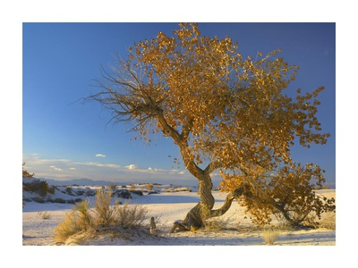 Fremont Cottonwood single tree in desert, White Sands National Monument, New Mexico Posters by Tim Fitzharris