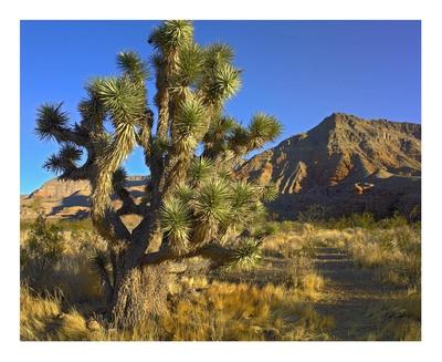 Joshua Tree with the Virgin Mountains, Arizona Prints by Tim Fitzharris