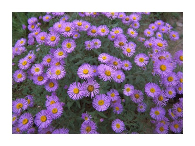 Smooth Aster plant in full summer bloom, Colorado Prints by Tim Fitzharris