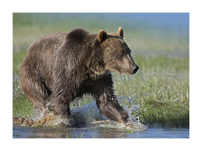 Grizzly Bear running through water, North America Prints by Tim Fitzharris