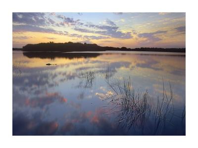 American Alligator in Paurotis Pond, Everglades National Park, Florida Prints by Tim Fitzharris