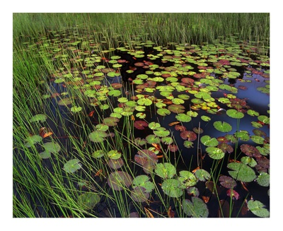 Pond with lily pads and grasses, Cape Cod, Massachusetts Prints by Tim Fitzharris