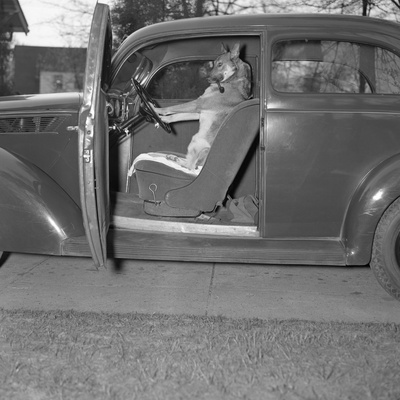 Kangaroo Sitting inside of Car, Smoking Pipe Photographic Print