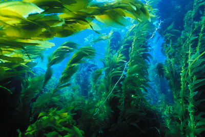 Giant Kelp Photographic Print by Ralph A. Clevenger