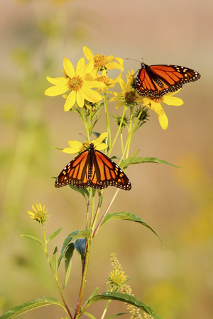 Monarch Butterflies, Prairie Ridge Sna, Marion, Illinois, Usa Photographic Print by Richard ans Susan Day